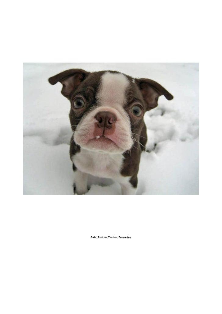 Cute_Boston_Terrier_Puppy.jpg
