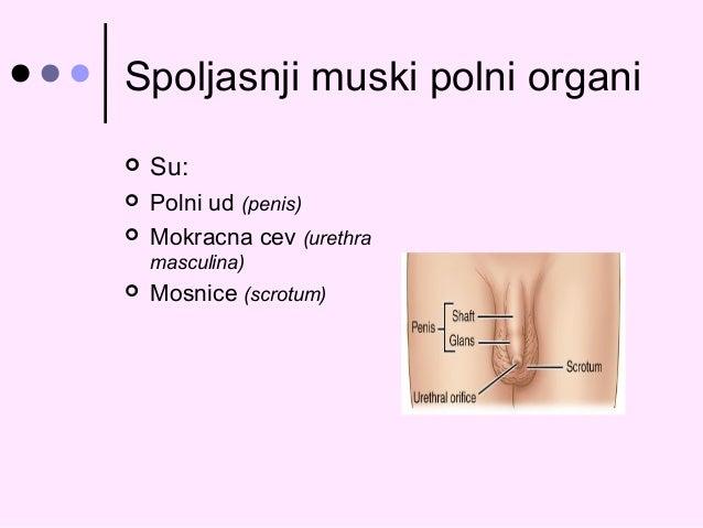 Polni Organi Coveka Spoljasnji Muski Polni Organi