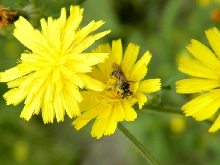 Upstate New York Bee Plants (IV)