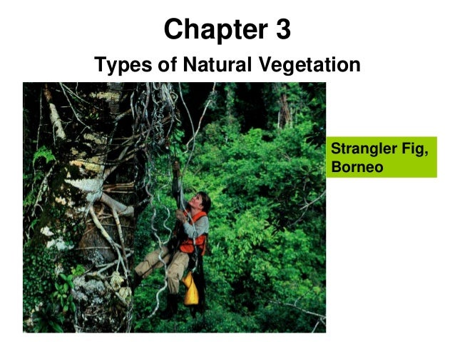 Chapter 3Types of Natural Vegetation                       Strangler Fig,                       Borneo