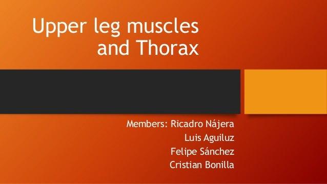 Upper leg muscles and Thorax  Members: Ricadro Nájera Luis Aguiluz Felipe Sánchez Cristian Bonilla