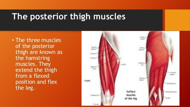 Hamstring muscles anatomy