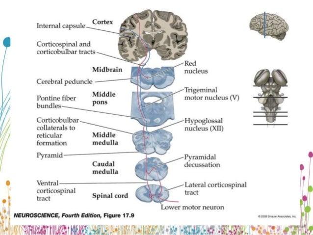 Upper motor neuron for Lower motor neuron diseases