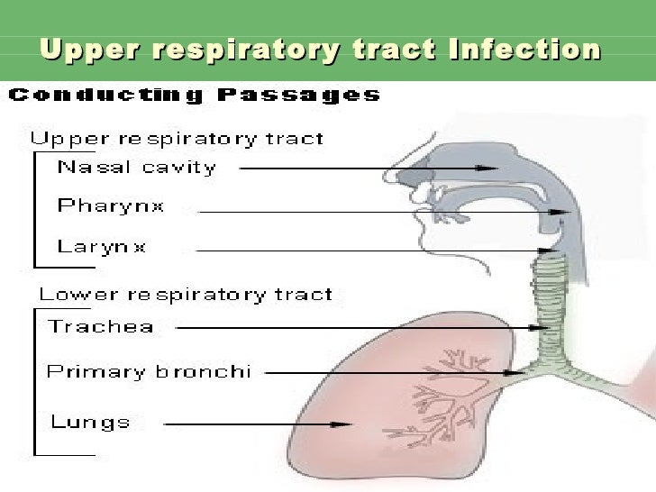 upper respiratory tract infection Upper respiratory tract infection upper respiratory tract infections (urti) are the most common symptomatic human infections in developed countries1 and the most common reason for patients.