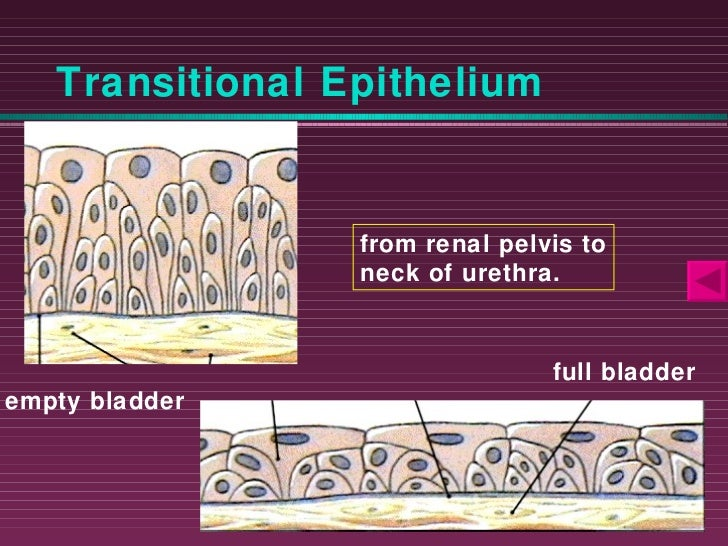 Transitional Epithelium Function Transitional Epithelium Empty