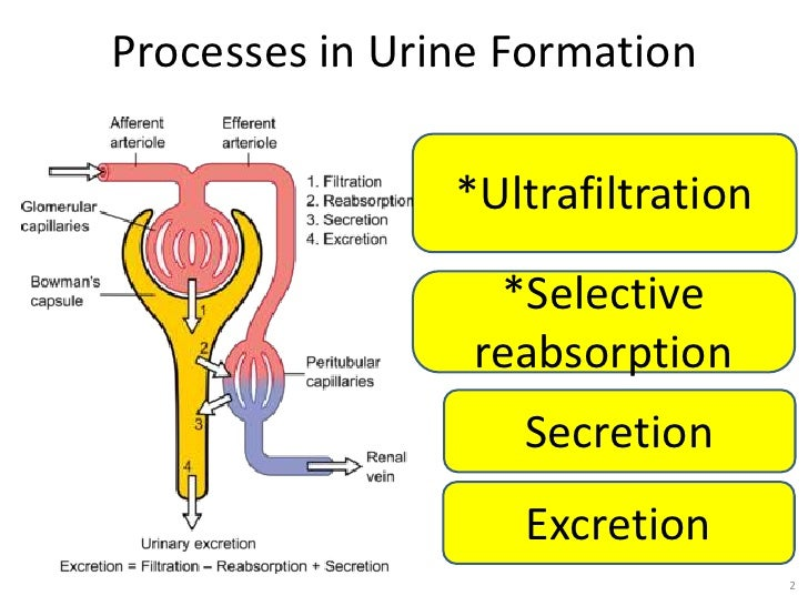 process of urine formation Helpful, trusted answers from doctors: dr volicer on three processes of urine formation: if you're having a new lower back pain along with a new difficulty urinating, then you may need immediate attention.