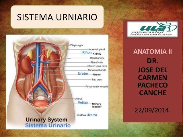 ANATOMIA II  DR.  JOSE DEL  CARMEN  PACHECO  CANCHE  22/09/2014.  SISTEMA URNIARIO