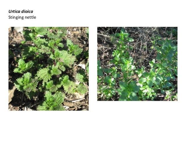 Urtica dioica Stinging nettle