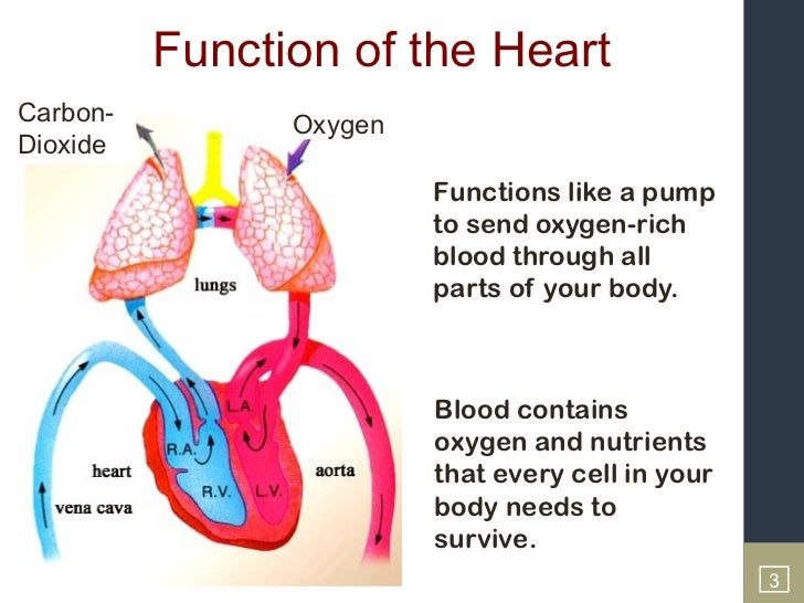 Function of human heart pdf ccuart Gallery