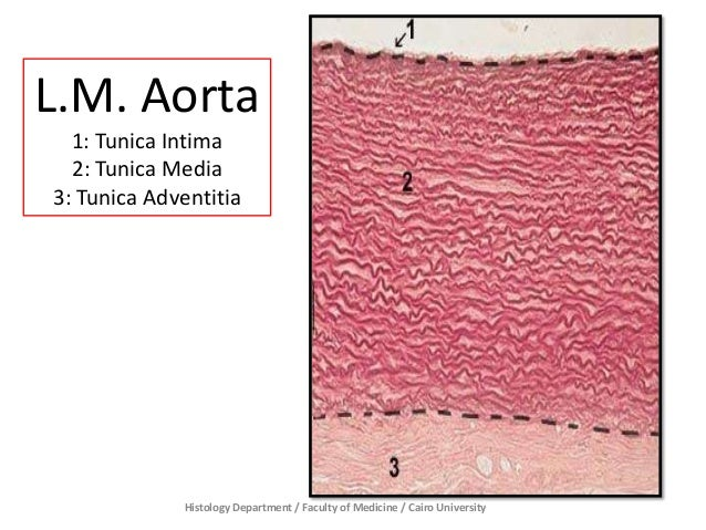 Histology Department / Faculty of Medicine / Cairo University L.M. Aorta 1: Tunica Intima 2: Tunica Media 3: Tunica Advent...