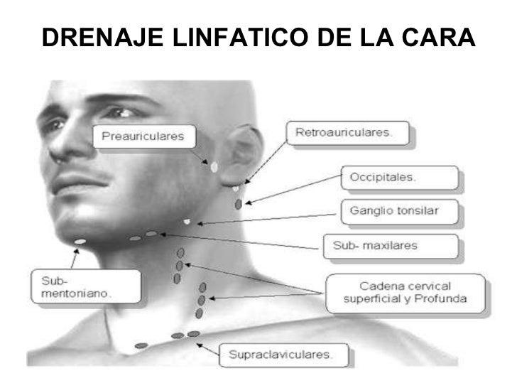 Vascularizacion de la cara - Rodillo para lacar ...