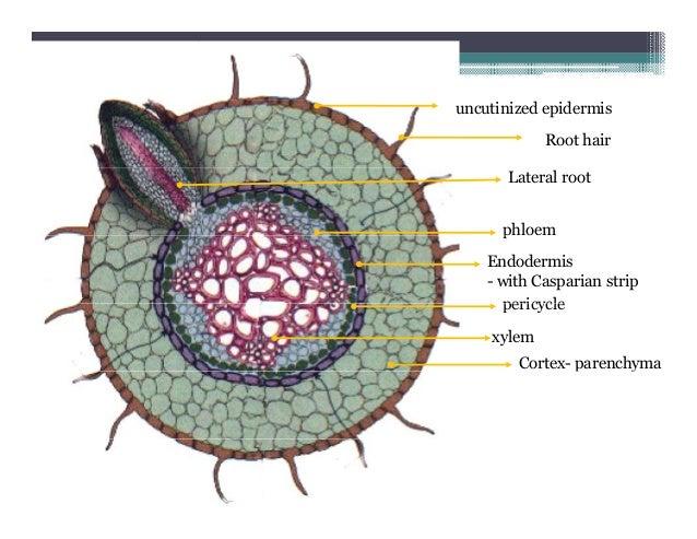 Plant stem epidermis - photo#6