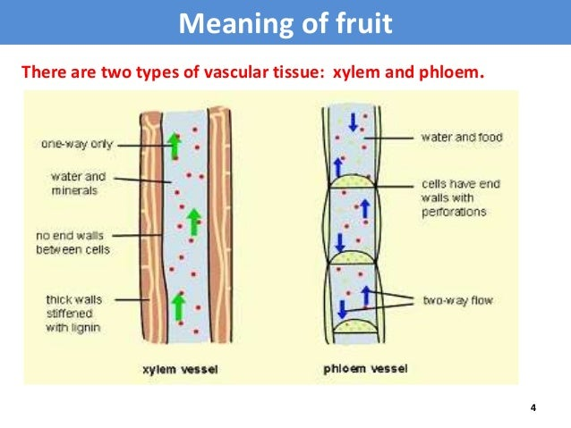 vascular tissue definition Definition of vascular tissue from the collins english dictionary the noun phrase a noun phrase is a word or group of words that can function as the subject, the object, or the complement in a sentence.