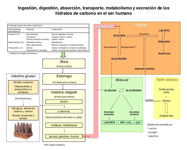 Ingestión, digestión, absorción, transporte, metabolismo y excreción de los hidratos de carbono en el ser humano Principal...