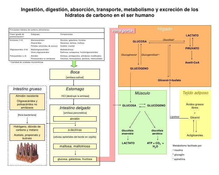 Digestión y metabolismo de hidratos de carbono (Cuadro sintético)