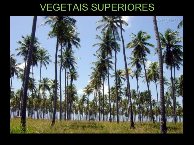 Vegetais superiores