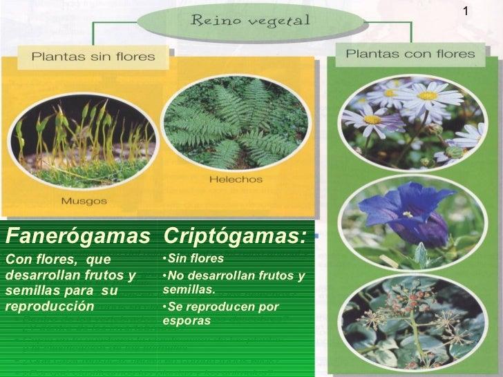 1Fanerógamas Criptógamas:Con flores, que        •Sin floresdesarrollan frutos y   •No desarrollan frutos ysemillas para su...