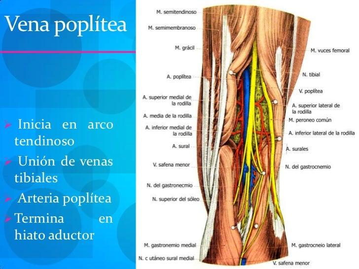 Lujo Anatomía Arteria Poplítea Patrón - Anatomía de Las Imágenesdel ...