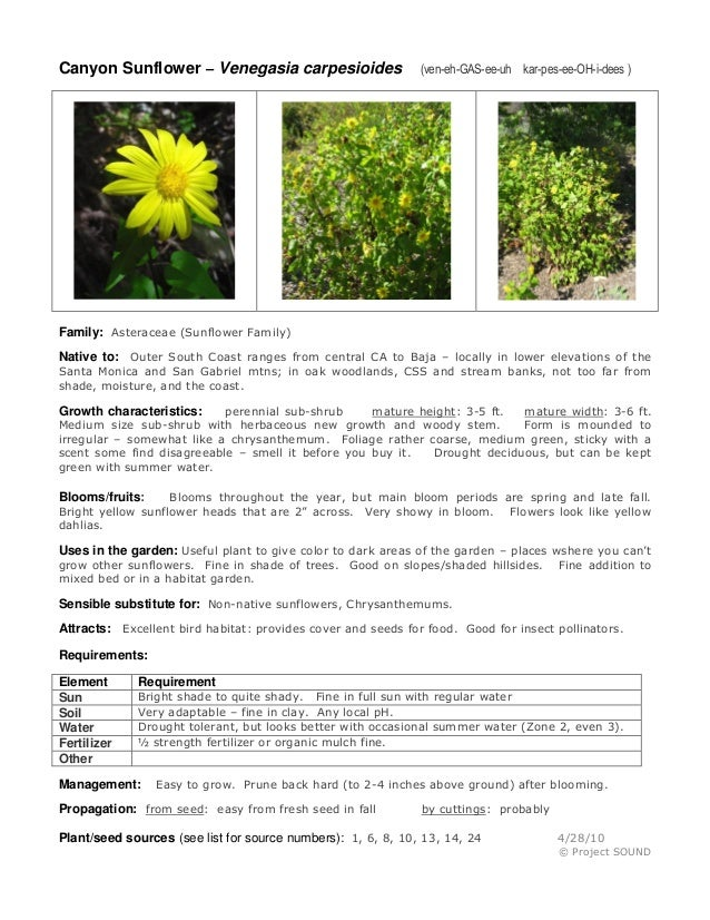 Canyon Sunflower – Venegasia carpesioides  (ven-eh-GAS-ee-uh kar-pes-ee-OH-i-dees )  Family: Asteraceae (Sunflower Family)...