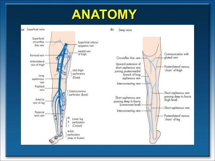 Varicose veins anatomy