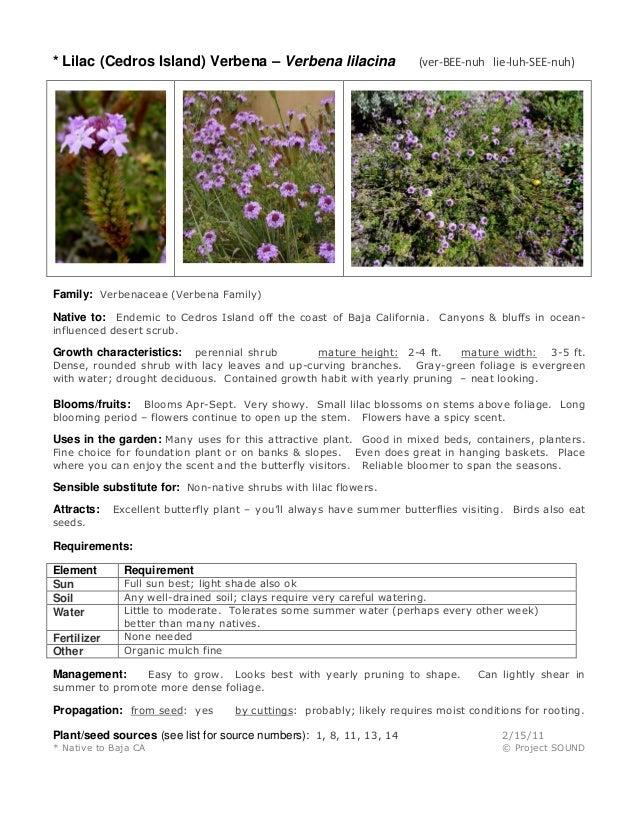 * Lilac (Cedros Island) Verbena – Verbena lilacina (ver-BEE-nuh lie-luh-SEE-nuh) Family: Verbenaceae (Verbena Family) Nati...