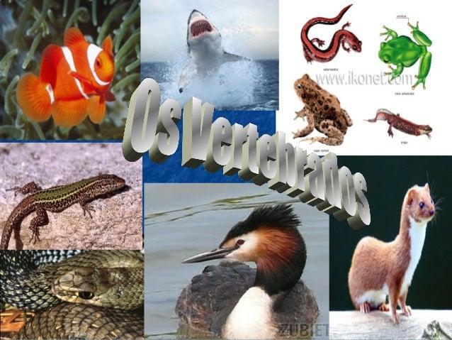 INTRODUCIÓNINTRODUCIÓNComo xa comentamos, o Reino Animal divídese en dous grandes grupos: Osinvertebrados e os vertebrados...
