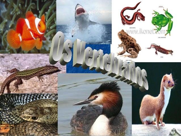 INTRODUCIÓNComo xa comentamos, o Reino Animal divídese en dous grandes grupos: Osinvertebrados e os vertebrados.Os vertebr...