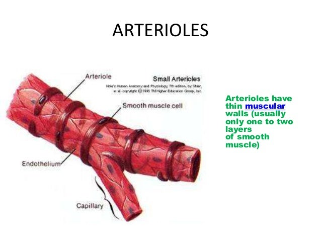 Arteriole anatomy of the microcirculatory bed