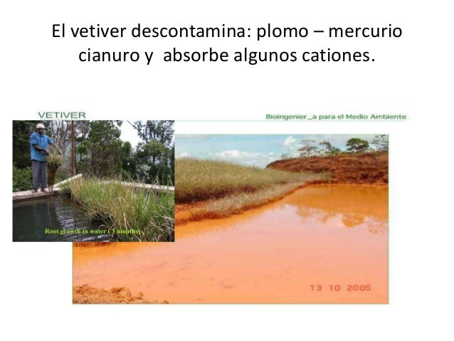 Vetiver descontaminacion de aguas residuales