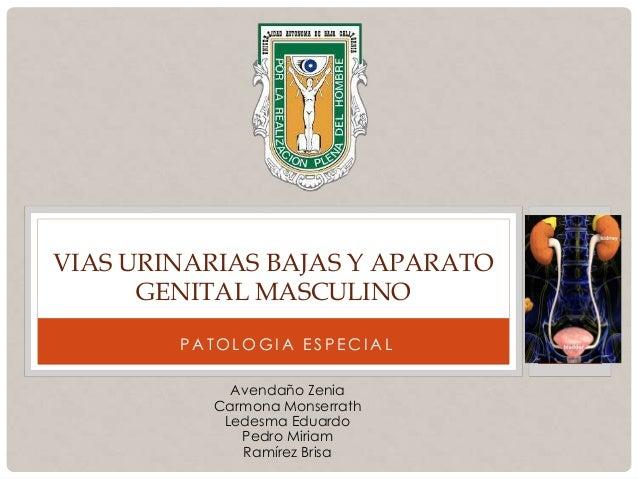 P A T O L O G I A E S P E C I A L VIAS URINARIAS BAJAS Y APARATO GENITAL MASCULINO Avendaño Zenia Carmona Monserrath Ledes...
