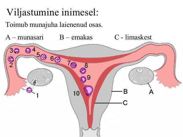 ovulatsiooni ei toimu