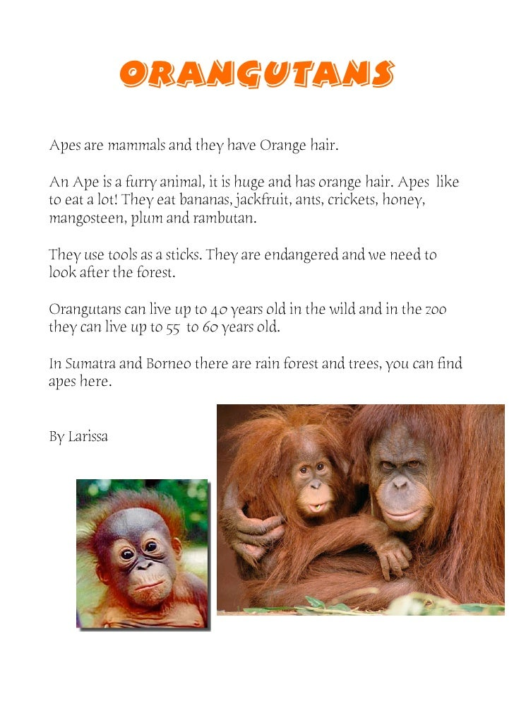 ORANGUTANS Apes are mammals and they have Orange hair.  An Ape is a furry animal, it is huge and has orange hair. Apes lik...