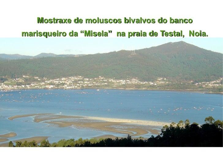 """Mostraxe de moluscos bivalvos do banco marisqueiro da """"Misela""""  na praia de Testal,  Noia."""