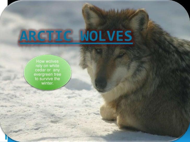 Patrick McAllister: Artic Wolves - webquest project