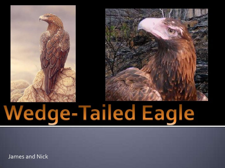 Wedge-Tailed Eagle<br />James and Nick<br />