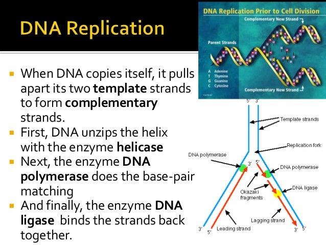 ap bio essays cell division