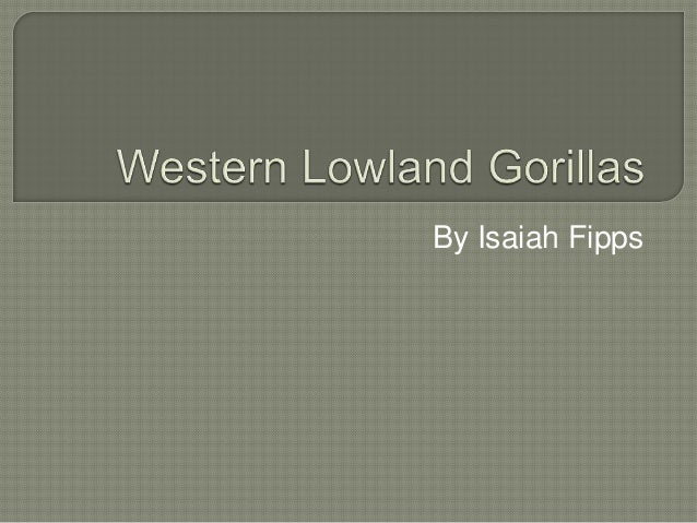 Western lowland gorillas by isaiah fipps