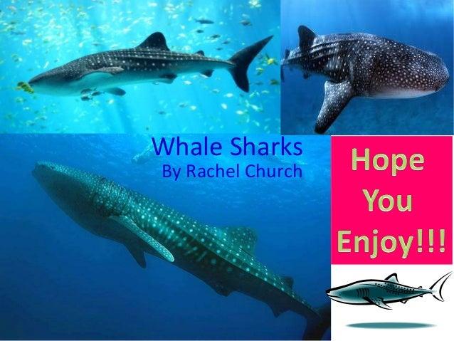 Whale Sharks By Rachel Church