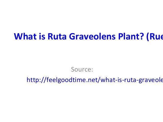 What is rutagraveolensplant (rue herb)