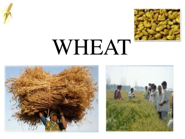 Wheat in india demand and supply
