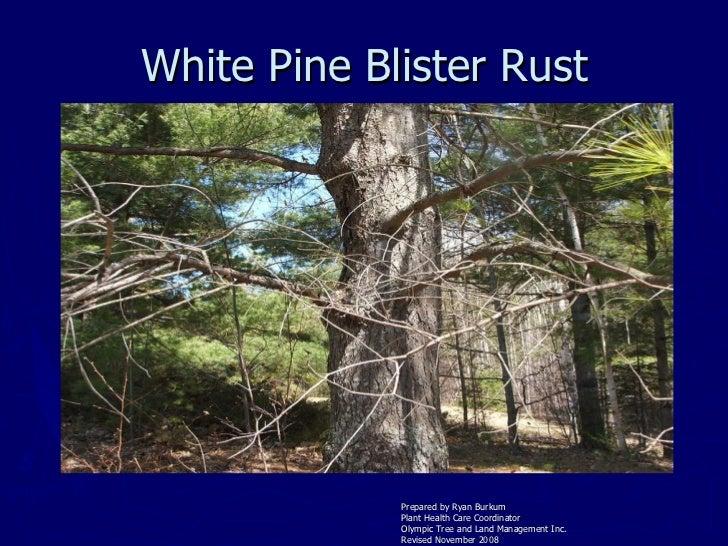 White Pine Blister Rust <ul><li>Prepared by Ryan Burkum </li></ul><ul><li>Plant Health Care Coordinator </li></ul><ul><li>...
