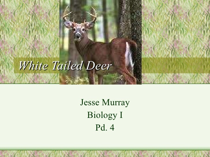 White Tailed Deer Jesse Murray  Biology I Pd. 4