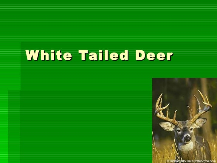 White tailed deer by dean