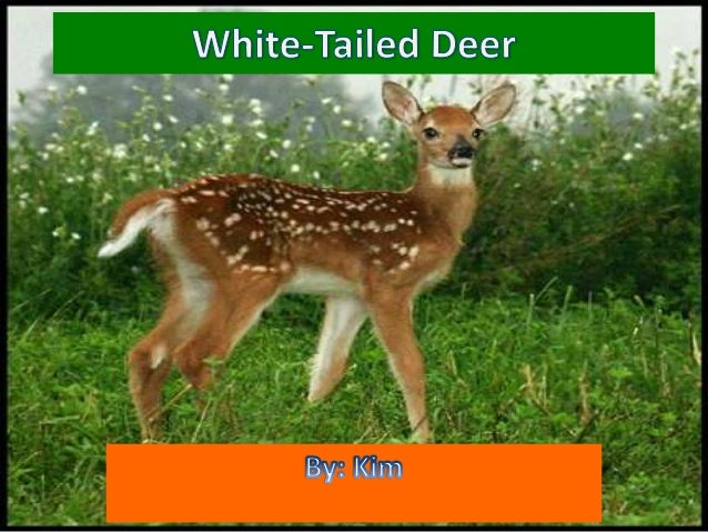 white tailed deer research paper Short-term effects of reduced white-tailed deer density on insect communities in a strongly overbrowsed boreal forest ecosystem white-tailed deer research.