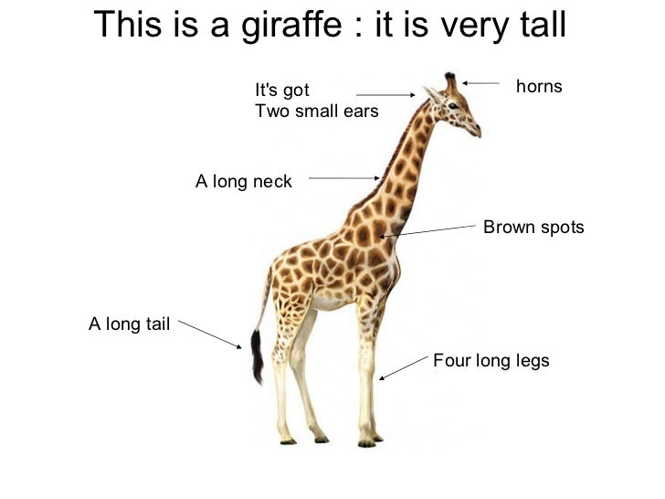 This is a giraffe : it is very tall                    Its got                  horns                    Two small ears   ...