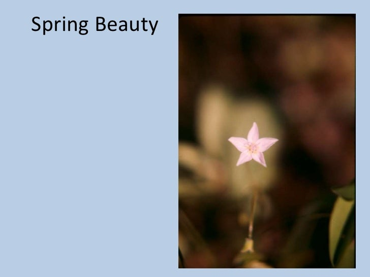 Spring Beauty<br />