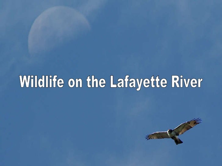Wildlife on the Lafayette River Wildlife on the Lafayette River