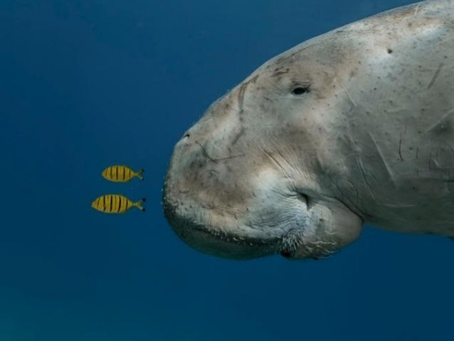 Wildlife Photographer of the Year 2013: Sneak preview Stunning photos of gorillas, dugongs and mushrooms were among the 43...