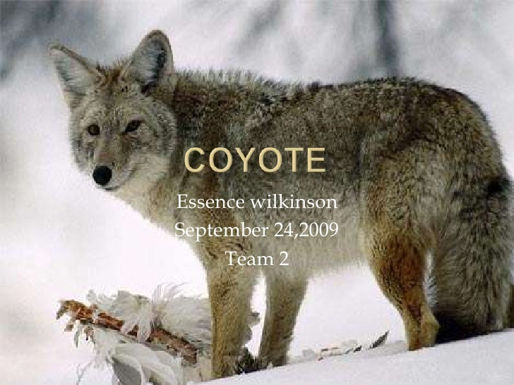 Coyote<br />Essence wilkinson<br />September 24,2009<br />Team 2<br />