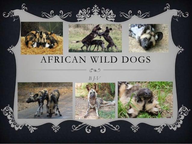 AFRICAN WILD DOGSB J-V